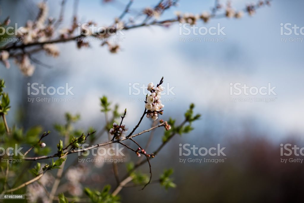An amazing blossom tree. Nature background. Spring flowers. Spring Background royalty-free stock photo