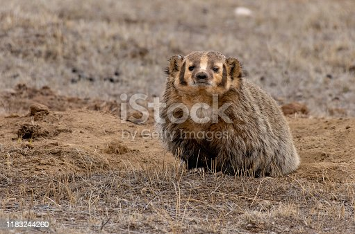 An American badger at its burrow in a prairie dog colony