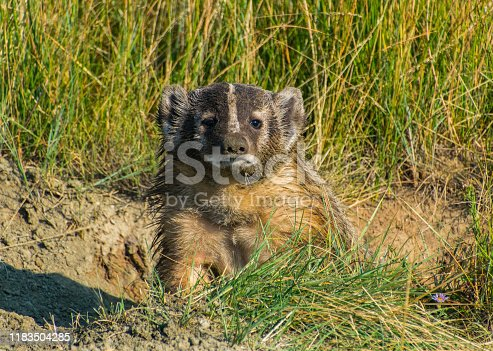An American Badger on the Plains of Colorado