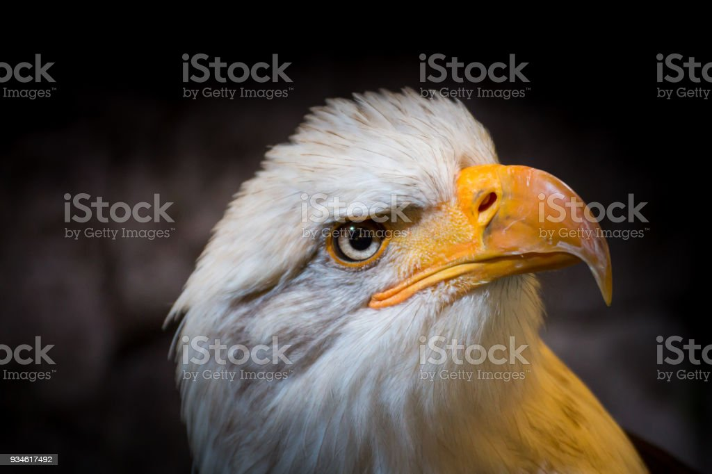 An American Bald Eagle Symbol Of The Usa Stock Photo More Pictures