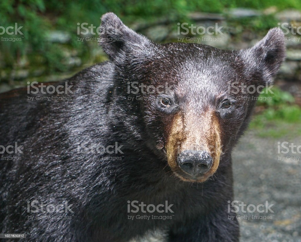 An American Black Bear stock photo