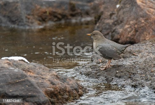 A pretty American Dipper pauses briefly for a Photo