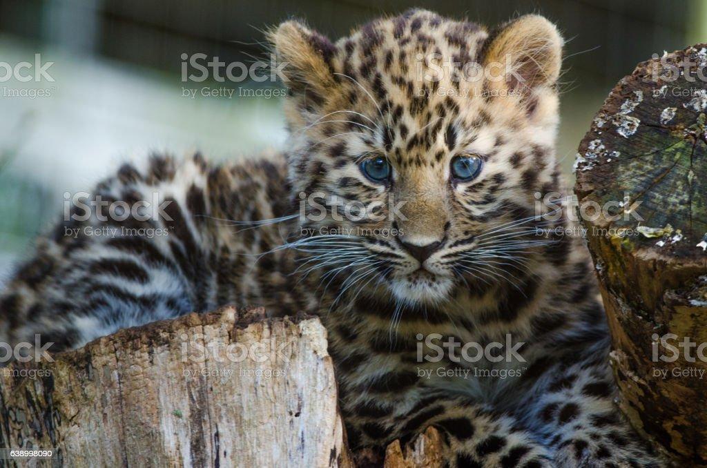 An Amur Leopard Cub stock photo