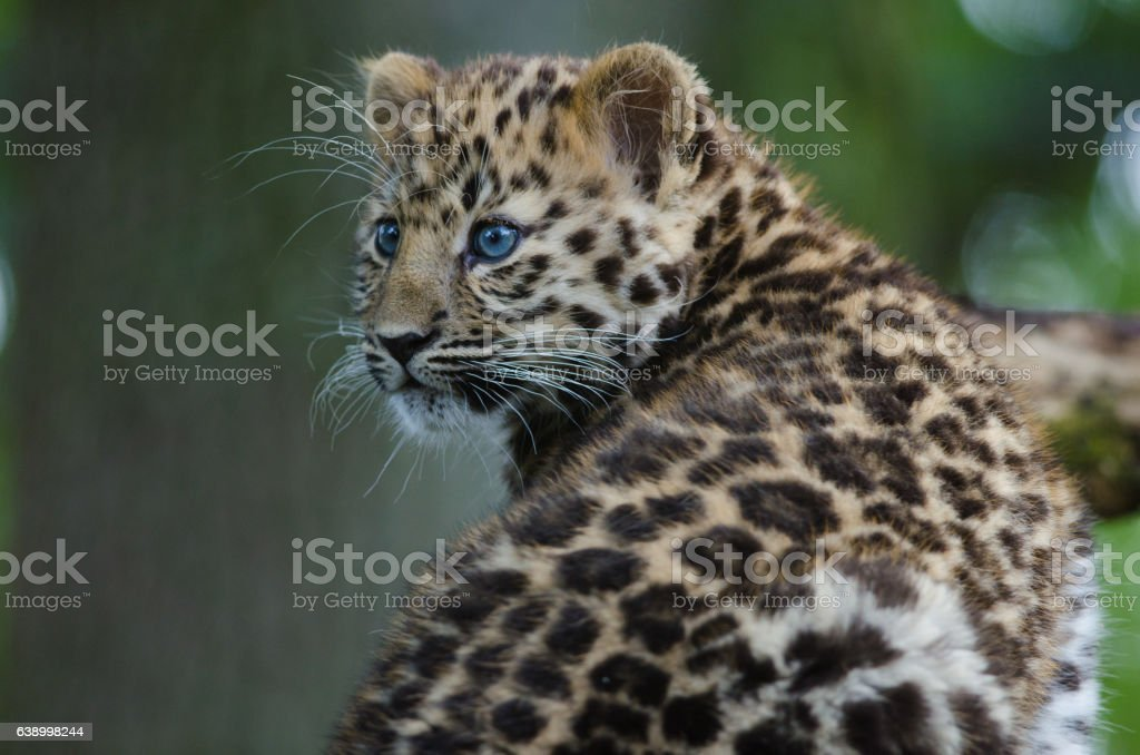 An Amur Leopard Cub stock photo