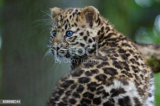 An Amur Leopard Cub Stock Photo & More Pictures of Amur Leopard