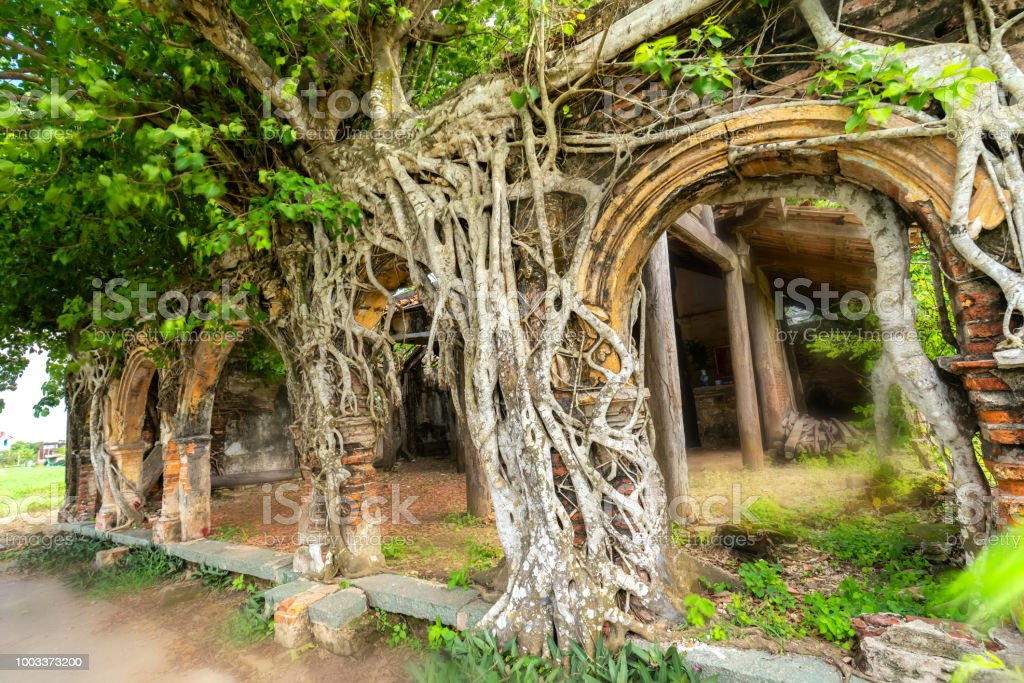 An ancient temple full of roots sticking Bodhi withstand over time stock photo