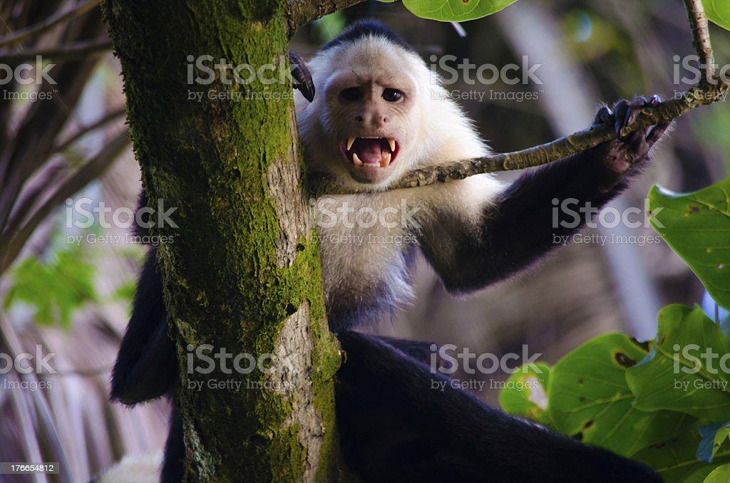 Un airado mono capuchino mostrando sus dientes foto de stock libre de derechos