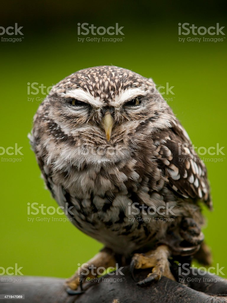 An angry looking little owl on a tree stock photo