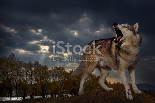 gray predator wolf guards his domain