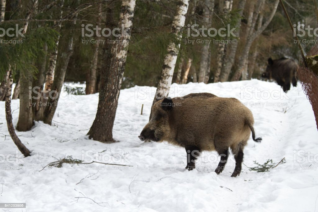 An animal portrait of an adult wild boar in the winter. stock photo