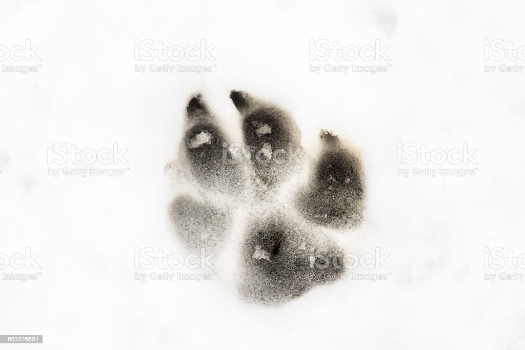 An animal track in the snow stock photo