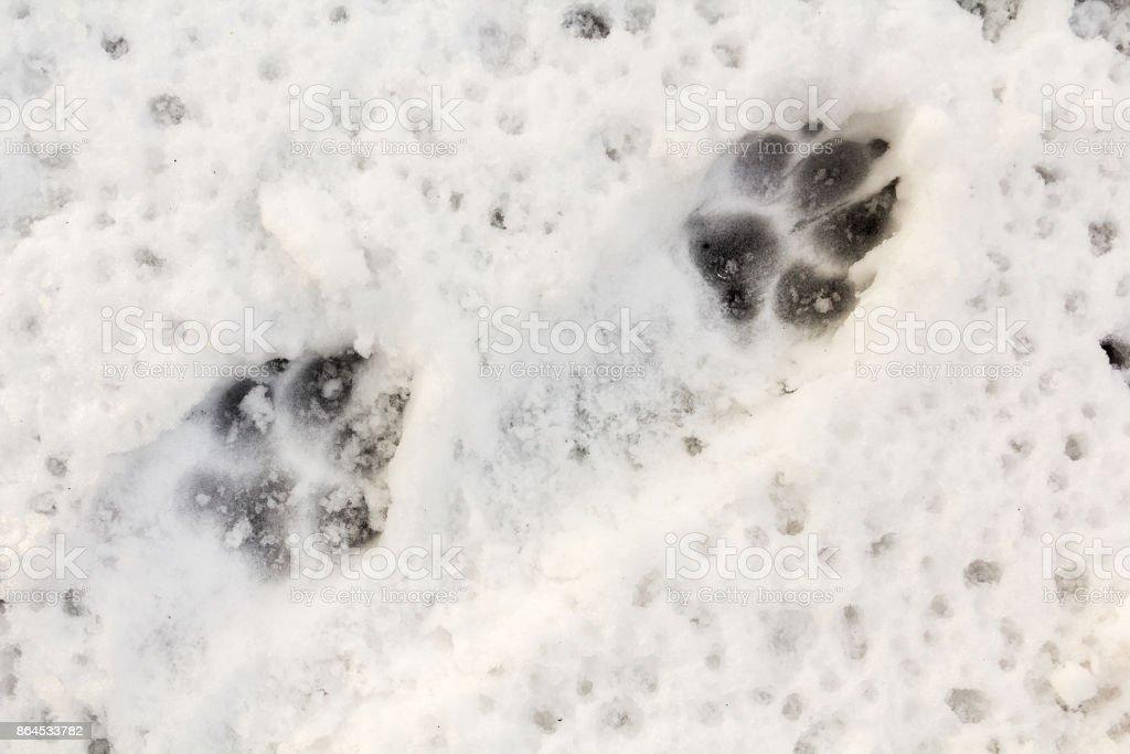 Ein Tier verfolgen im Schnee – Foto