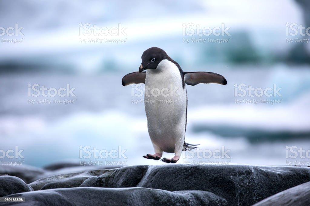 An antarctic Adelie penguin jumping between the rocks stock photo