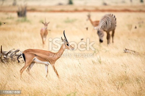 An antelope and some zebras in the savannah of Kenya in Nairobi, Nairobi County, Kenya