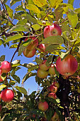 An apple tree full of ripe fruits. Beautiful apples hanging on a tree during a sunny day.