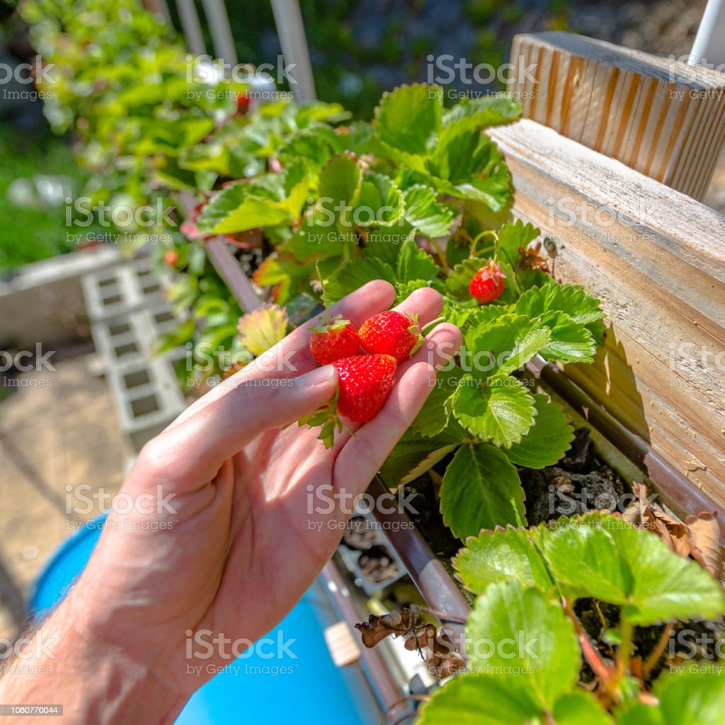An aquaponics with the growth of strawberries stock photo