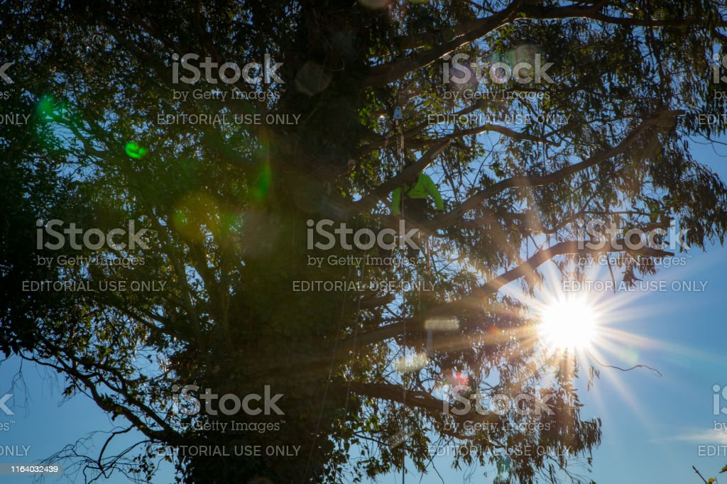 An Arborist Or Tree Surgeon At Work High In A Eucalyptus Tree In New Zealand Stock Photo Download Image Now Istock