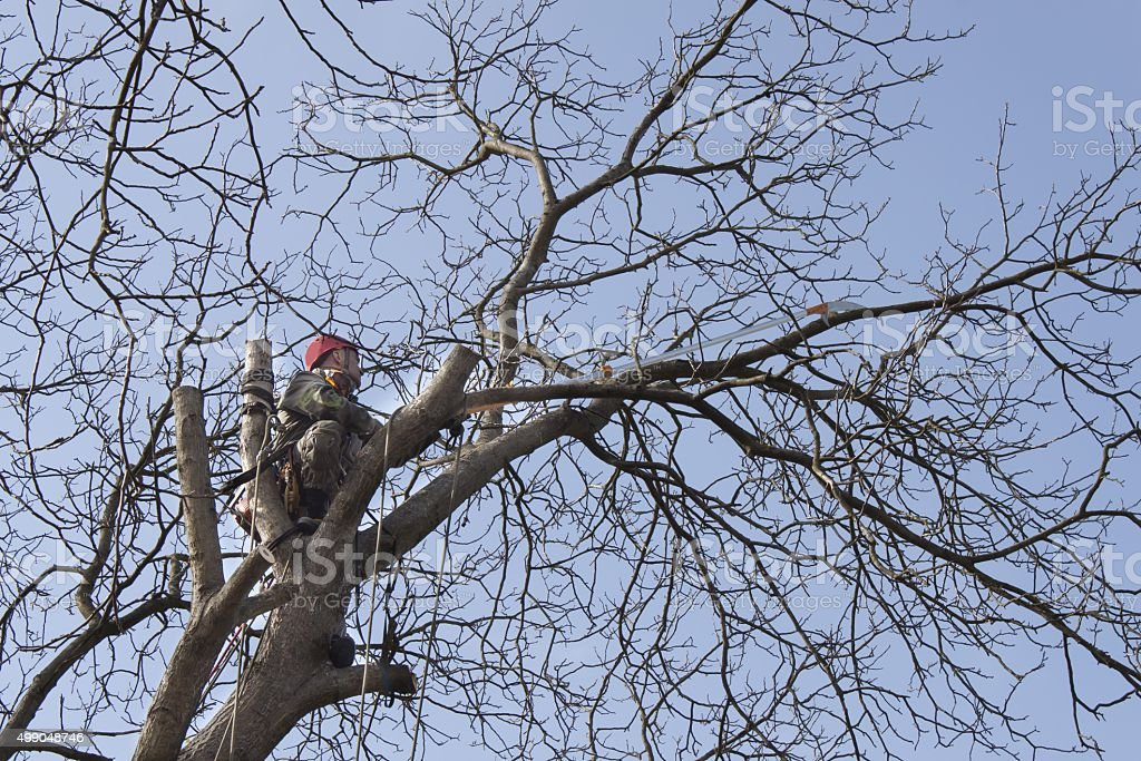 An arborist using a chainsaw to cut a walnut tree stock photo