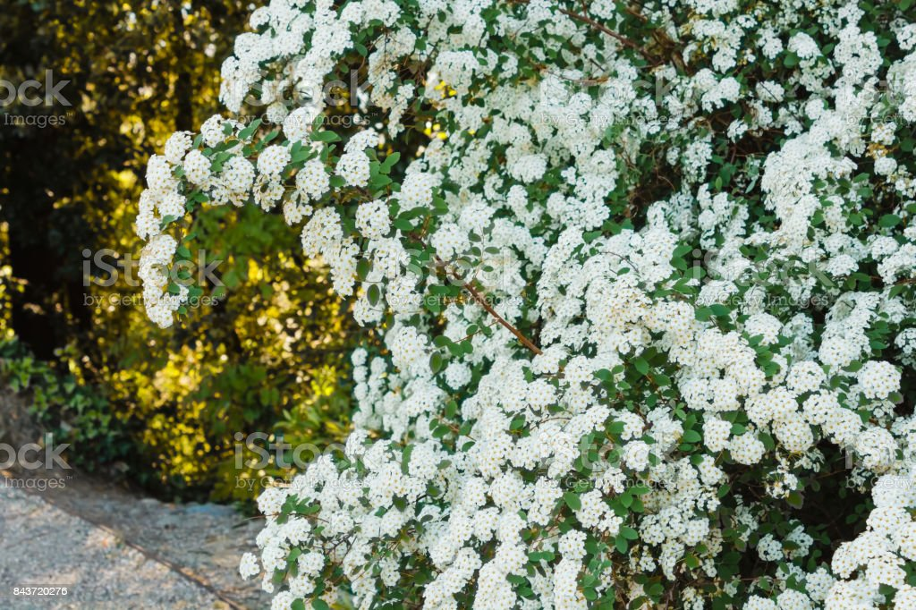 an arc of white spirea flowers stock photo