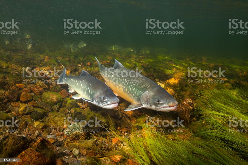 An arctic chars swimming in clear water river in Greenland stock photo