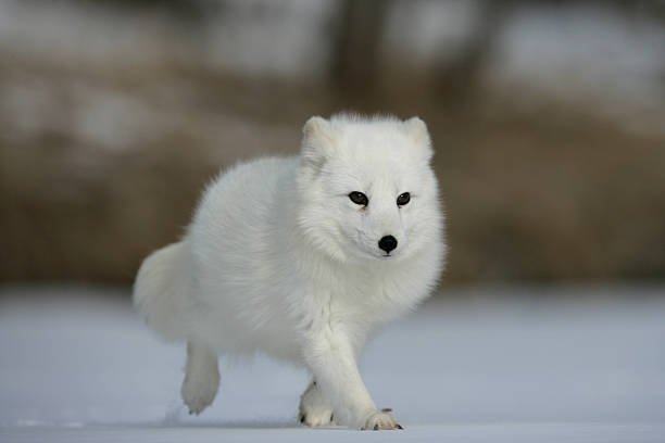raposa ártica, alopex lagopus - raposa ártica imagens e fotografias de stock