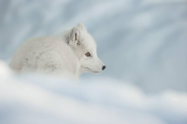 uma raposa ártica na neve. - raposa ártica imagens e fotografias de stock