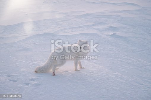 A solitary white Arctic fox standing in the white snow, backlit from the morning sun, all of its body visible, including its fluffy tail and half of its face.