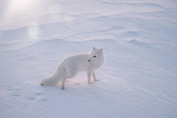 an arctic fox (vulpes lagopus) standing in the snow on a very cold morning, near churchill, manitoba, canada. - raposa ártica imagens e fotografias de stock