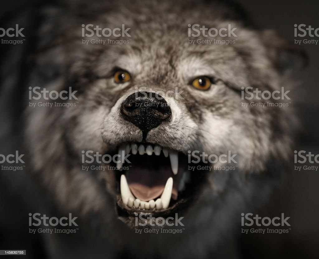 An arctic wolf showing its teeth and growling stock photo