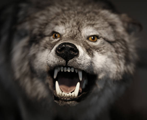 Best Angry Wolf Stock Photos Pictures Amp Royalty Free