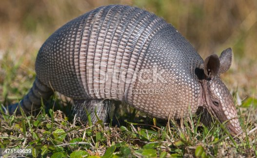 Close up of a wild Armadillo