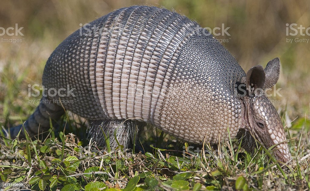 An armadillo walking through the grass stock photo