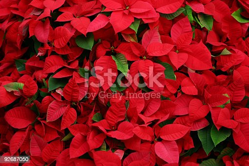 An arrangement of a lot of poinsettias. Suitable for a background in a christmas design.