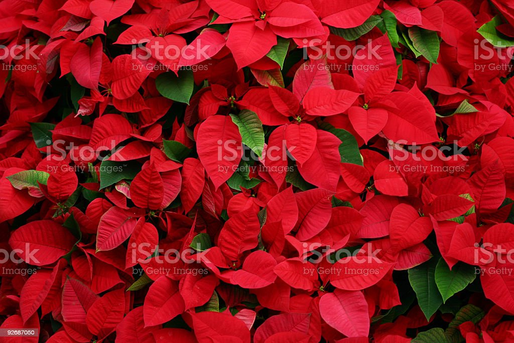 An arrangement of beautiful poinsettias stock photo