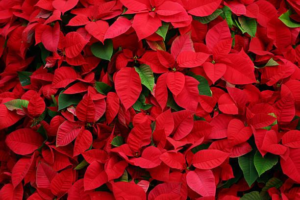 an arrangement of beautiful poinsettias - kerstster stockfoto's en -beelden