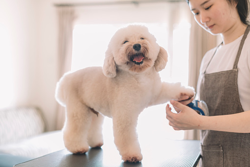 an asian chinese female pet groomer using animal brush to clean up and grooming a toy poodle