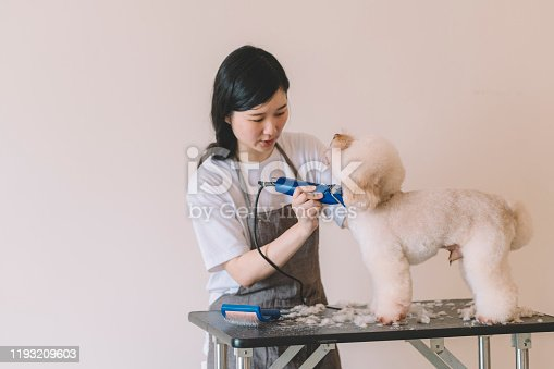 an asian chinese female pet groomer using electronic shaver grooming a toy poodle