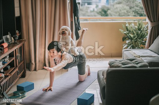 an asian chinese mid adult exercising at home putting her toy poodle at her back
