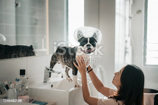 an asian chinese pet owner preparing her french bulldog for bath and coveing his head with shower cap