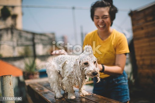 an asian chinese teenager girl applying shampoo on her toy poodle pet dog at the front / back yard of her house during weekend day time cleaning up and taking bath for her pet