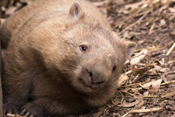 An Australian common wombat rests in the heat of the day stock photo