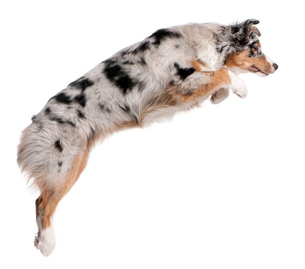 australian shepherd dog jumping, 7 monate alt, weißem hintergrund. - hundeplätze stock-fotos und bilder