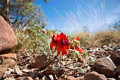 An Australian Wildflower called the Sturt's Desert Pea, found in the outback of Northern Australia.