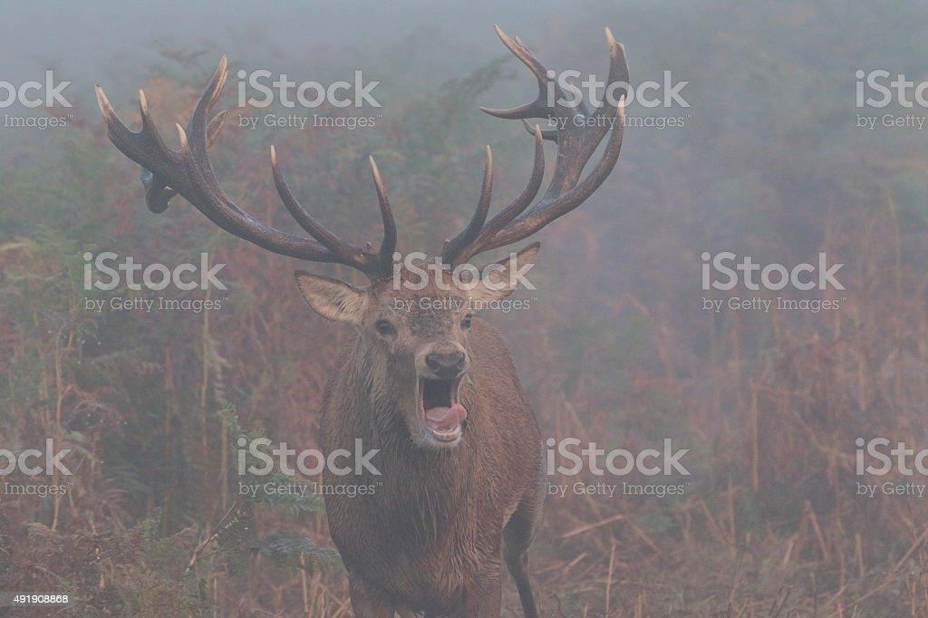 Splendid red deer stag grunting huge antlers thick fog stock photo