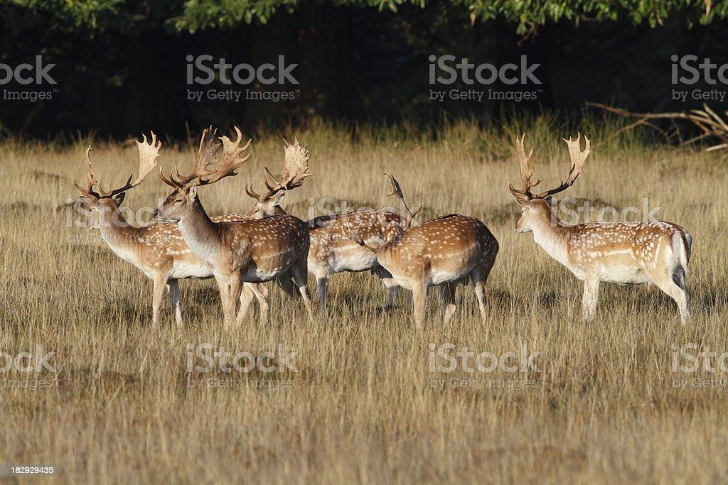 Herd of plump fallow deer bucks alert in acid grassland stock photo