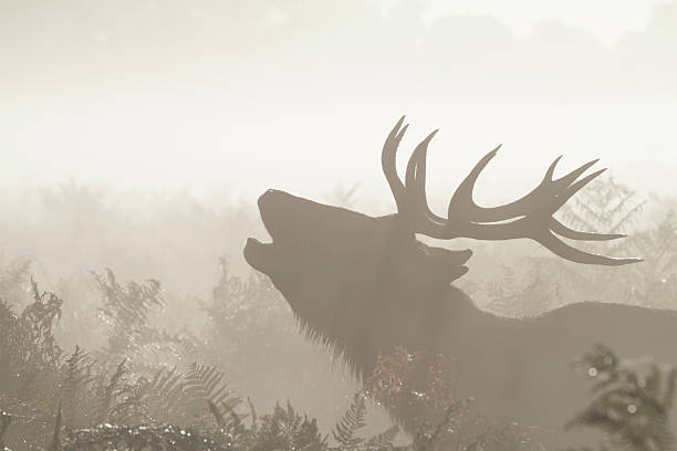 red deer stag calling in autumn mist - whiteway deer stock photos and pictures