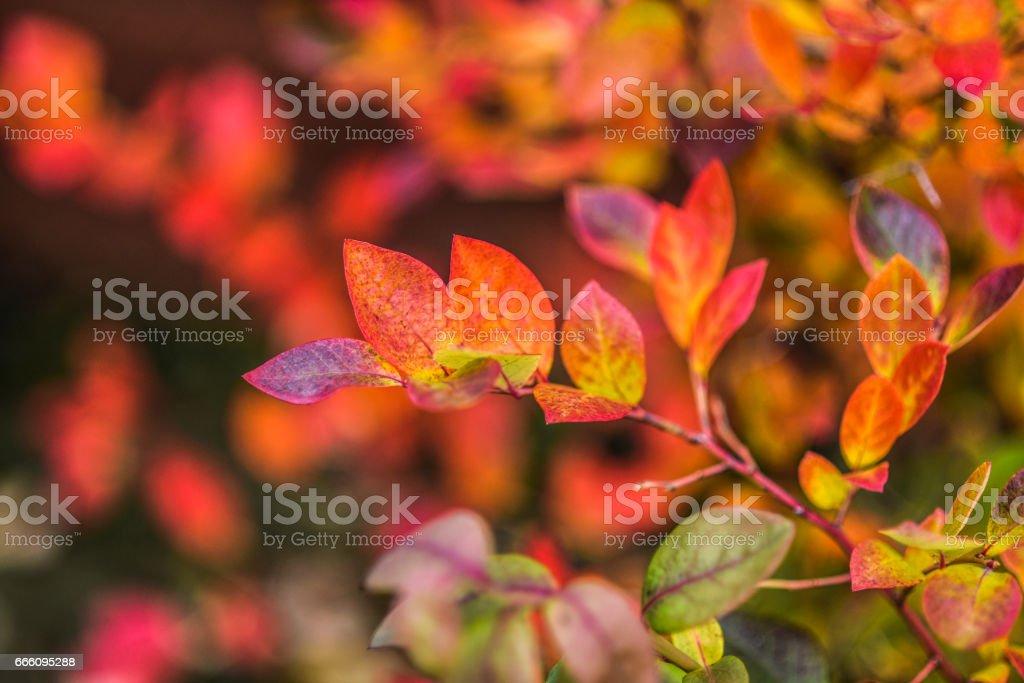 An autumn multi-colored bush of bilberry stock photo