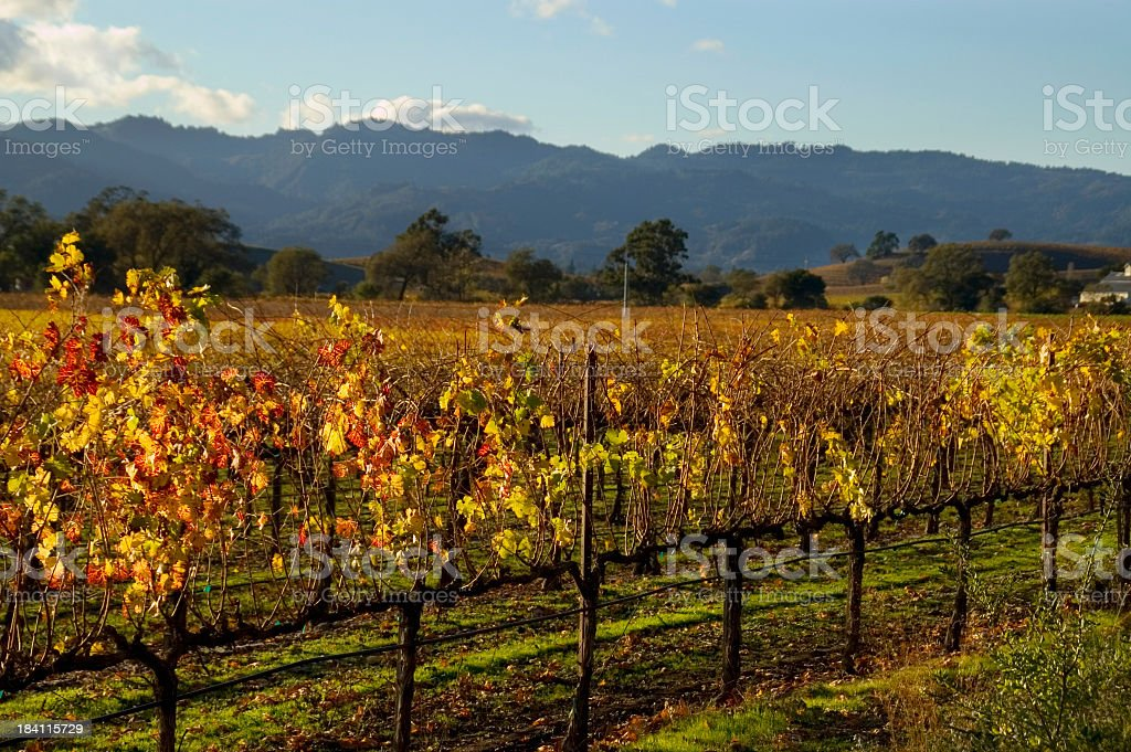 An autumn vineyard being grown at Napa Valley, California royalty-free stock photo