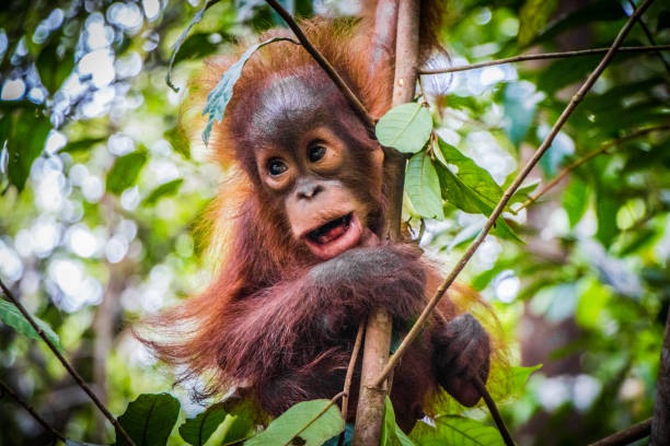 An baby orangutan hangs in a tree in Borneo An baby orangutan hangs in a tree in Borneo orangutan stock pictures, royalty-free photos & images