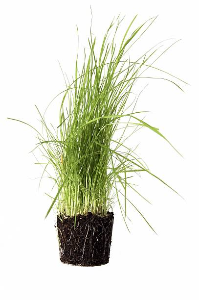 An bunch of grass removed from it's pot with roots attached stock photo